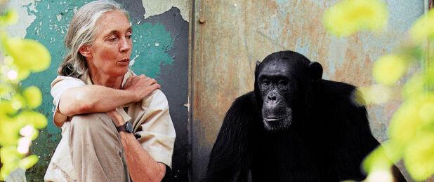 ENGASJERT I DYRENE: Etolog, forsker og aktivist Dr. Jane Goodall (86) har jobbet med – og engasjert seg for – dyr i flere tiår. Hun er blitt verdenskjent for sin forskning på sjimpanser i Tanzania. FOTO: Michael Neugebauer